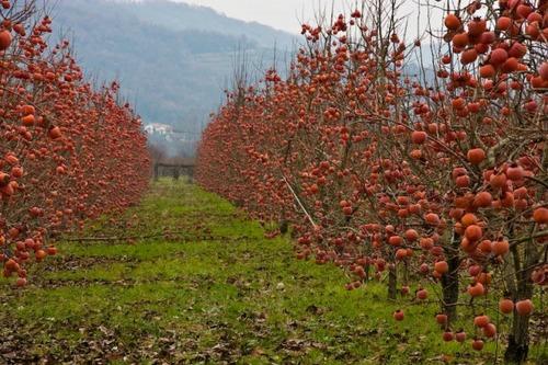 American Persimmon grove